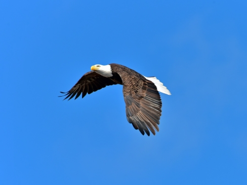 Female Bald Eagle in Flight. Photograph by Keith Wilhite.