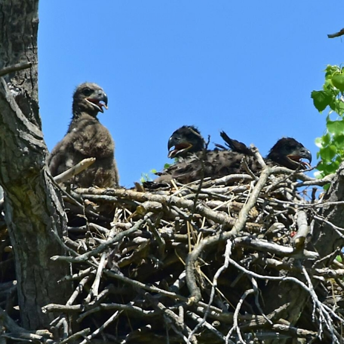 Bald Eaglets with Mom in Nest. Photograph by Keith Wilhite.