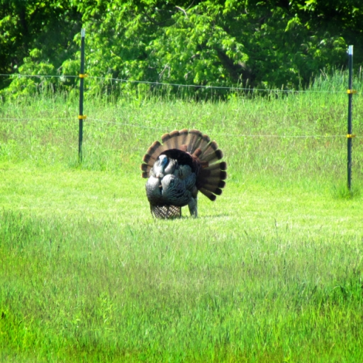 Turkey Strut by the Fence. Photograph by Loita Anderson.