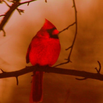 The Cardinal: An Angel from Heaven. Photograph by Melissa Bazley.