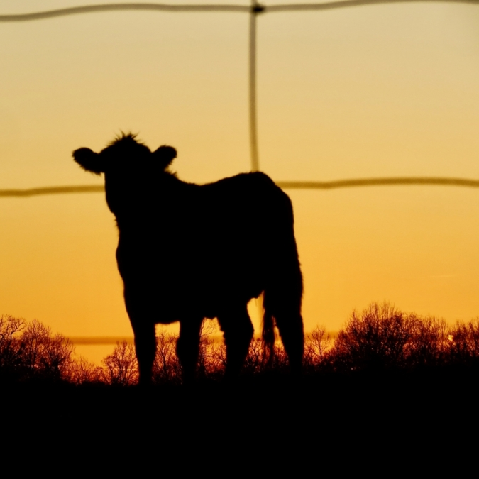 The Color of a Cow. Photograph by Kim Bollinger. **Selected for the My Missouri 2021 exhibition**