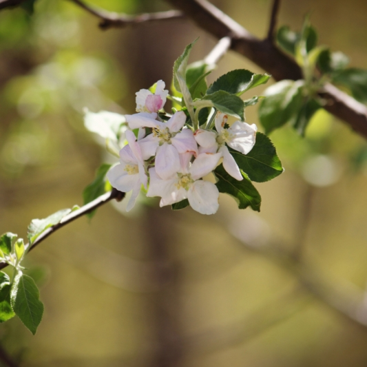 Apple Blossoms in Bloom. Photograph by Amy Bridgeman.