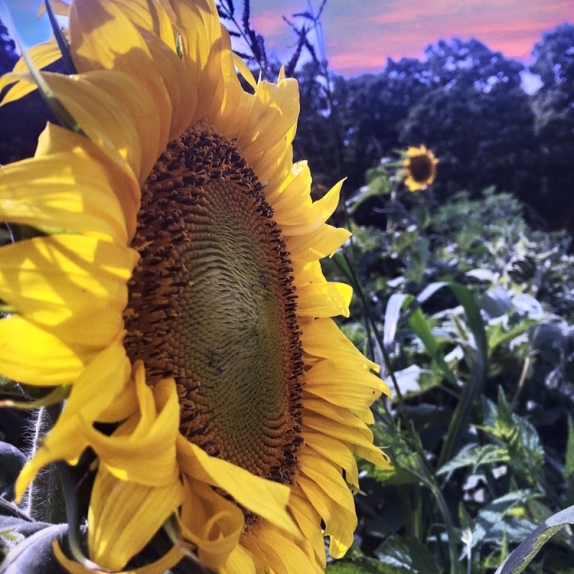 Sunflower. Photograph by Rebeca Clines.