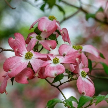 Dogwood Delight. Photograph by Jack Clutter. **Selected for the My Missouri 2021 exhibition**