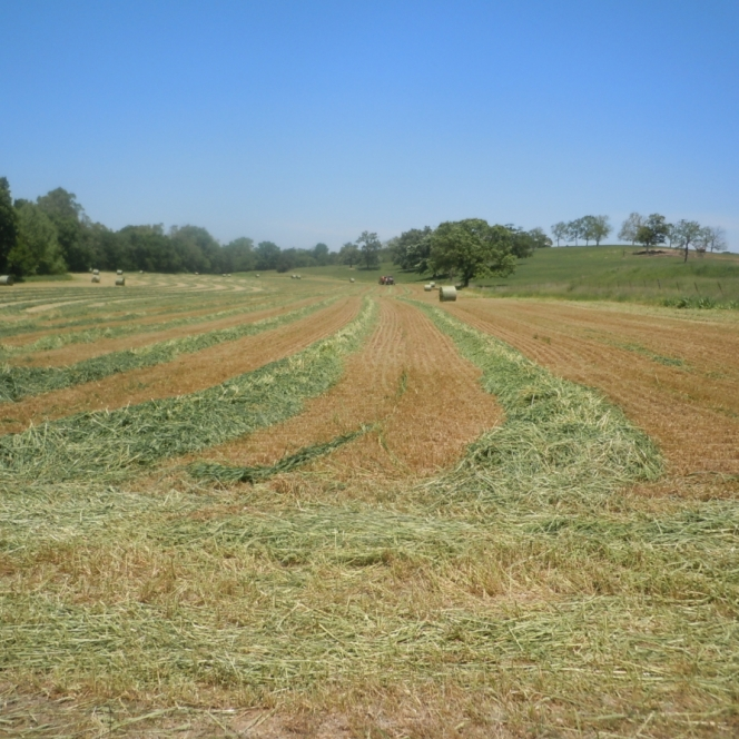 First Phase of Hay Cutting. Photograph by Mary Ruth Deeken.