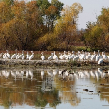 Dale Duncan-Migratory Pelicans at Cooley Lake