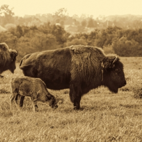Buffalo and Calf. Photograph by Dale Duncan.