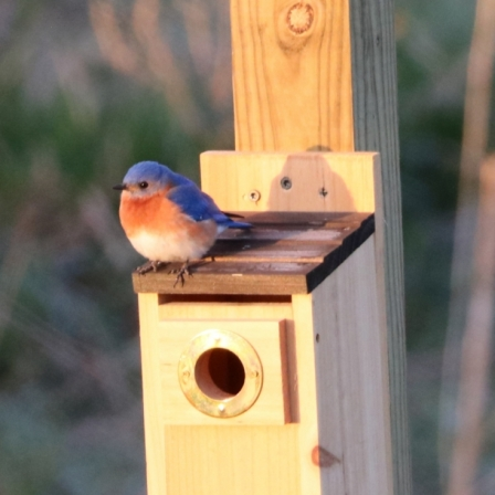 Bluebirds Of Happiness. Photograph by Jill Eoff.