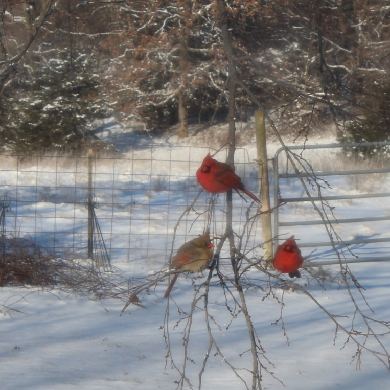 Cardinals in the Snow. Photograph by Susan Griffith.