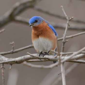 Bluebird. Photography by Lloyd Grotjan. **Selected for the My Missouri 2021 exhibition**