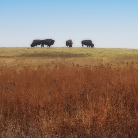 Bison On The Prairie. Photograph by Bruce Hallman.