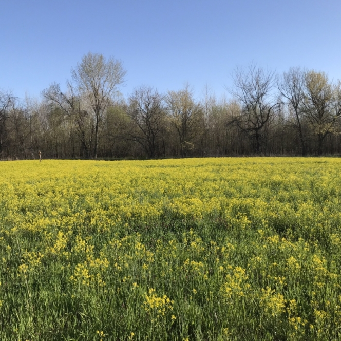 Yellow Meadows. Photograph by Lauren Hare.