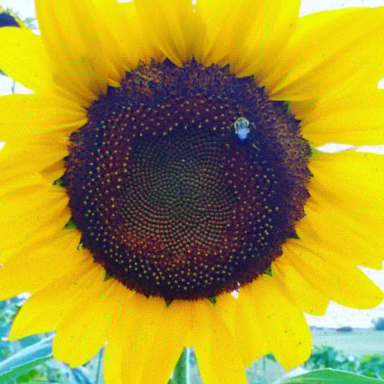 Pretty Sunflowers. Photograph by Rebecca Hoffman.