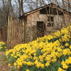 Shed and Daffodils. Photograph by Aaron Horrell.