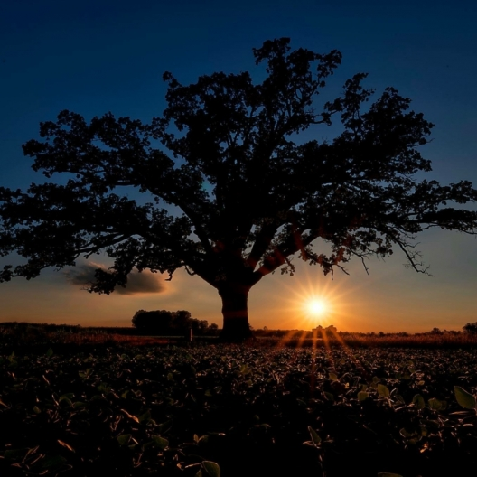 Burr Oak. Photograph by Randy Hughes. **Selected for the My Missouri 2021 exhibition**