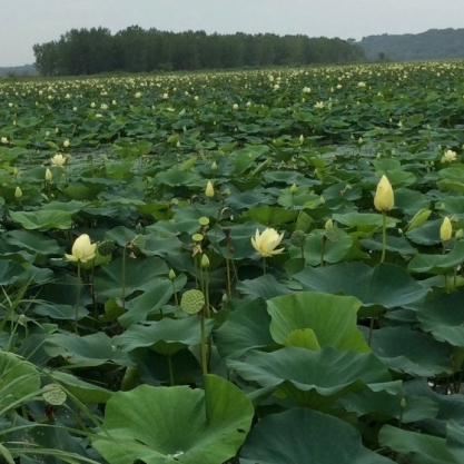 Lotus Blooming. Photograph by Kathleen Liggett.