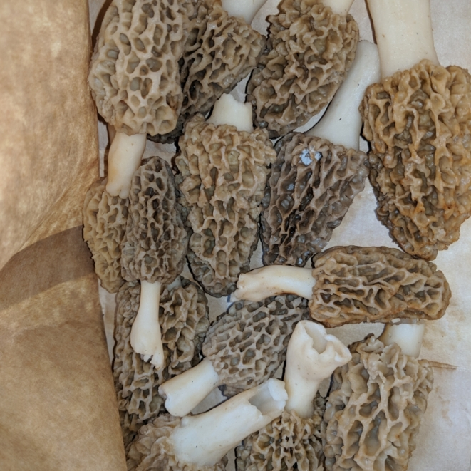 Morels. Photograph by Brett Long.