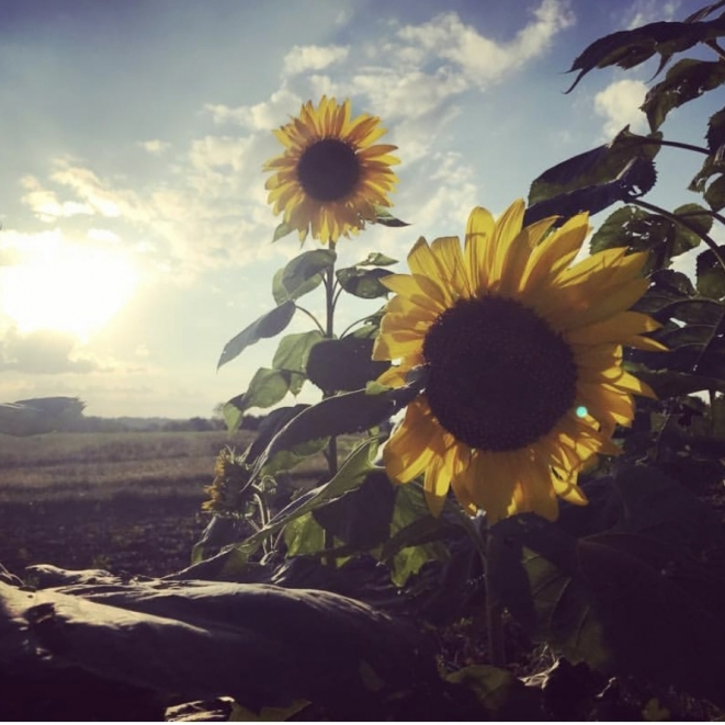 Sunflowers Are The Crowning Glory Of A Garden. Photograph by Amanda Lowrey.