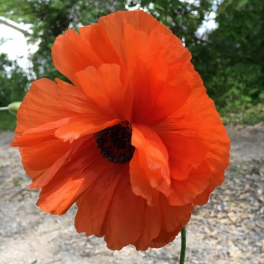Beautiful Poppy. Photograph by Linda Maupin.