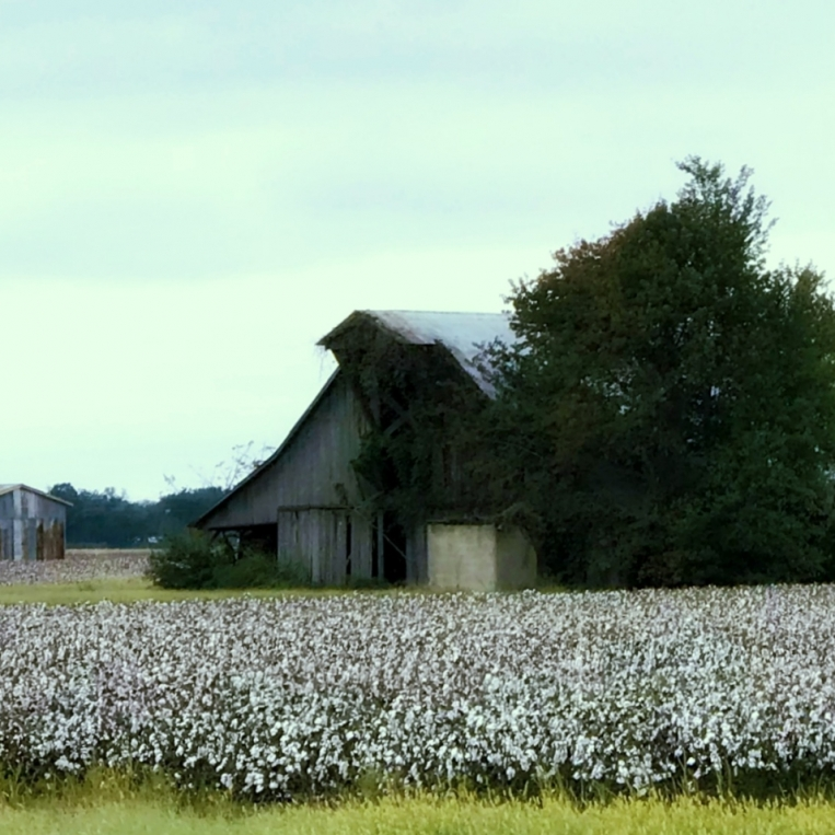 Cotton in New Madrid County. Photograph by Melanie McCord.