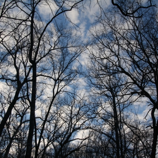 Sycamores in the Sky. Photograph by Leann McDowell.