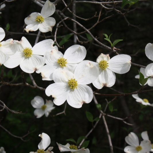Dogwood in Bloom. Photograph by Leann McDowell.