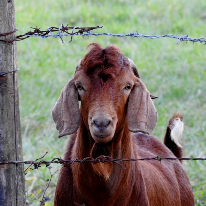 Red Goat. Photograph by Wanda Moore.
