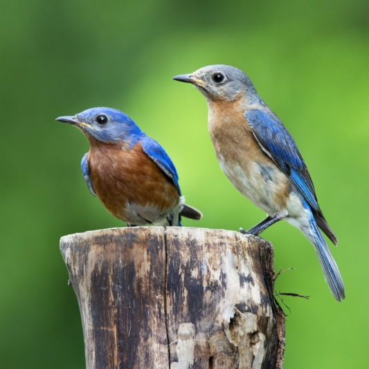 Mr. And Mrs. Bluebird. Photograph by Hal Moran.