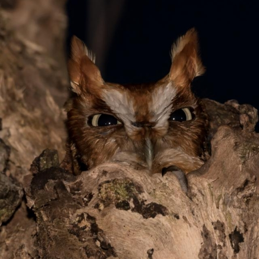 Eastern Screech Owl. Photograph by William Nace.
