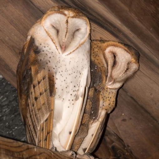 Barn Owls. Photograph by William Nace.