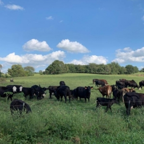 Cows Grazing On A Hillside. Photograph by Kaitlyn Ousley.