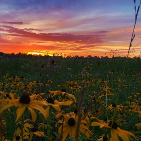 Black-Eyed Susan Sunset. Photograph by Chelsea Reagan.