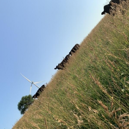 Cows Out Grazing. Photograph by Ethan Riley.