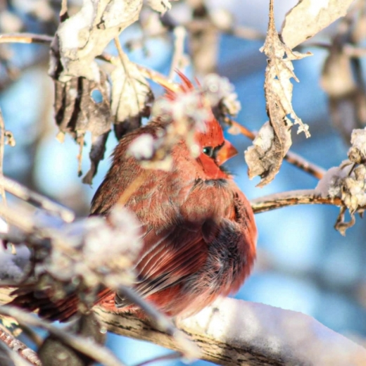 Cardinal Snow Day. Photograph by Justin Riley. **Selected for the My Missouri 2021 exhibition**