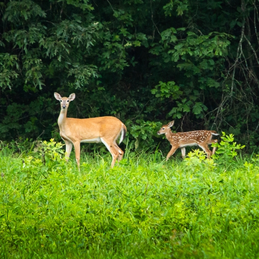Mama Deer and her Fawn. Photograph by Kevin Roberson.