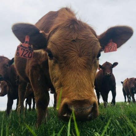 Curious Cows. Photograph by Kate Rogers.