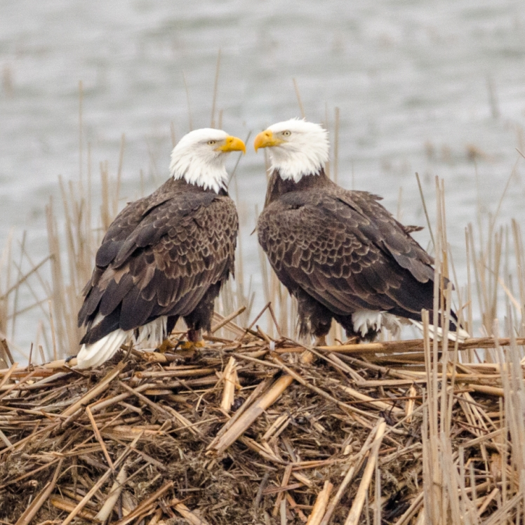 Eagles of Loess Bluffs. Photograph by Dan Staples.