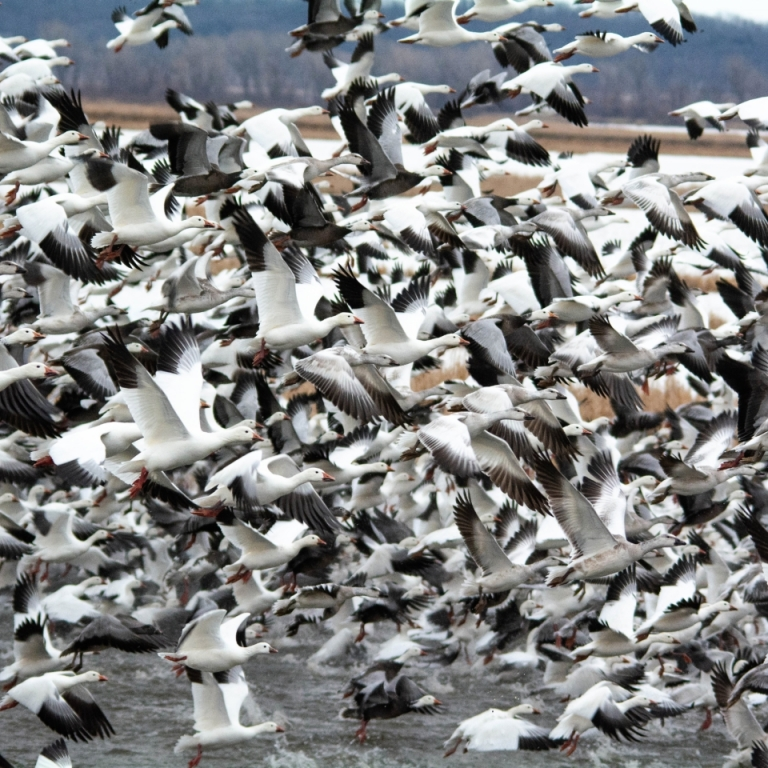 Snow Goose Migration. Photograph by Dan Staples. **Selected for the My Missouri 2021 exhibition**