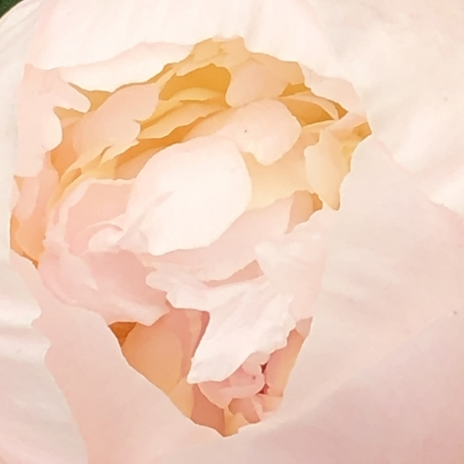 A Peony's Best Friend. Photograph by Linda Stephens.
