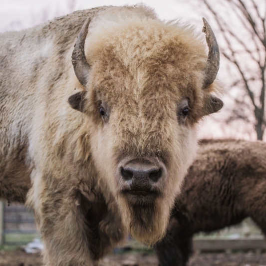 Bison Beast. Photograph by Jeni Stock. **Selected for the My Missouri 2021 exhibition**