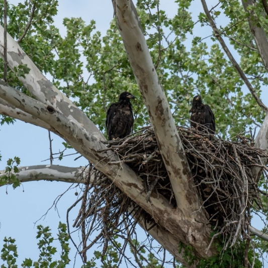 Eaglets. Photograph by Scott Villmer.