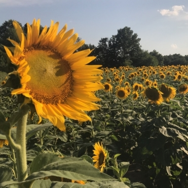 Sunflower Field. Photograph by Chelsea Wells. **Selected for the My Missouri 2021 exhibition**