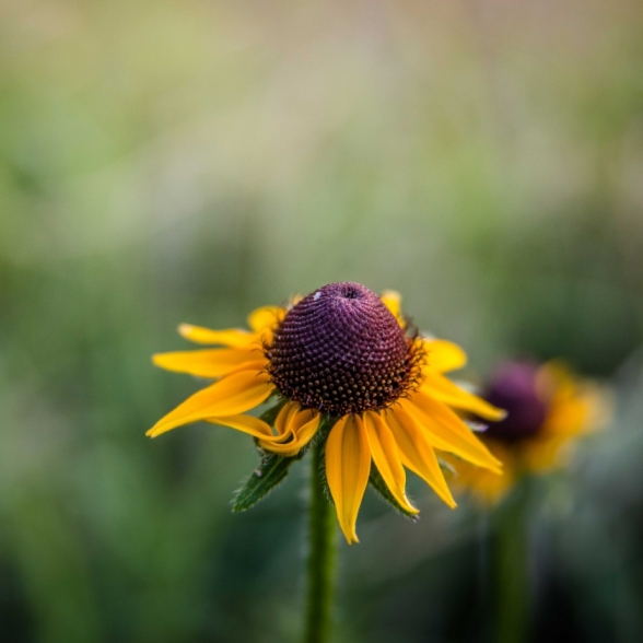 Black-Eye Susan. Photograph by Christina Wheeler.