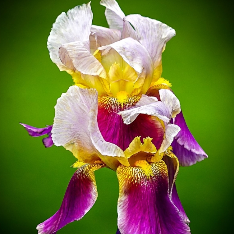 The Year Of The Iris. Photograph by Jennifer Willcockson.