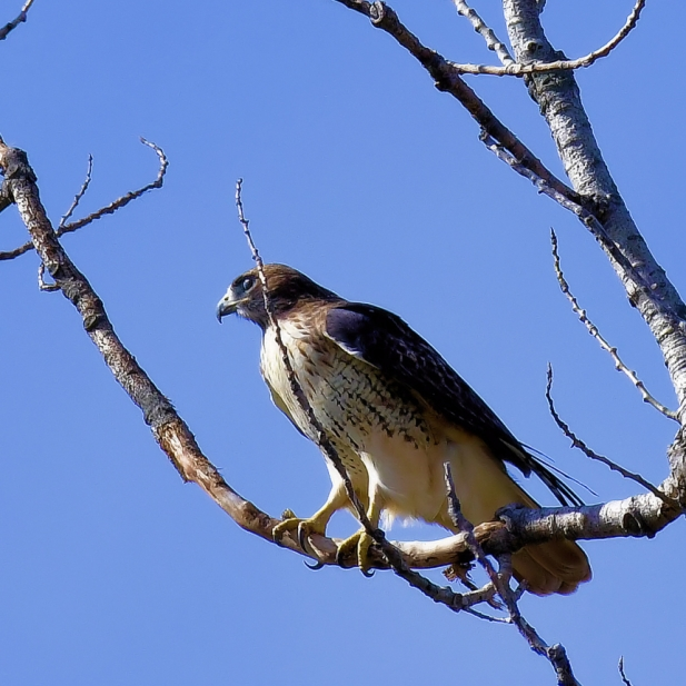 Hawk On the Lookout. Photograph by Michael Woods. **Selected for the My Missouri 2021 exhibition**