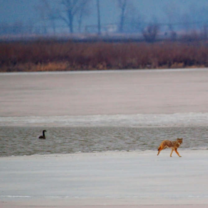 Coyote On Ice. Photograph by Michael Woods. **Selected for the My Missouri 2021 exhibition**